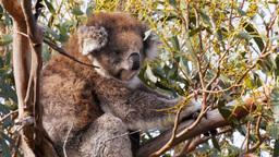 adult koala Footage