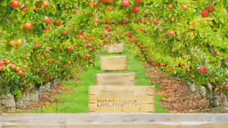 apple orchard Footage