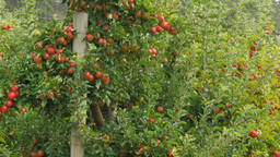 Apple Orchard Pan stock footage