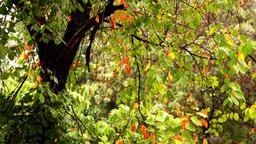 Early autumn rain with sound.Autumn leaves on a rainy day Footage
