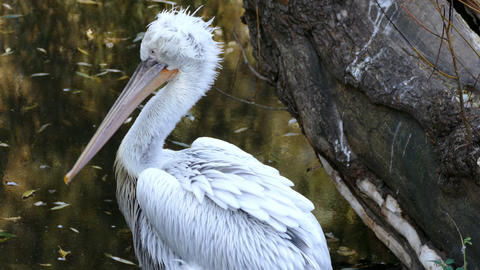 White pelican cleans feathers Footage