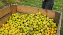 picking golden delicious apples Footage
