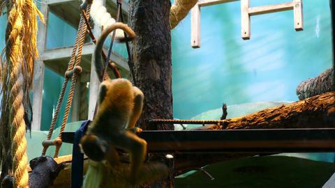 Little Black Monkey In A Zoo stock footage