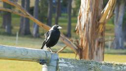 australian magpie Footage