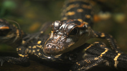 baby alligators close up Footage
