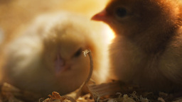 baby chickens sleeping Footage