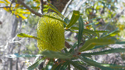 banksia flower Footage