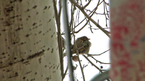 sparrow in winter Footage