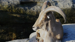 barbary sheep Footage