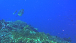batfish being chased by a batfish Footage