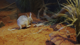 bilby scratching Live Action