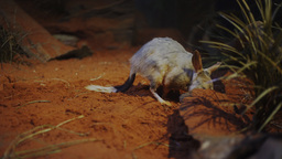 greater bilby Footage