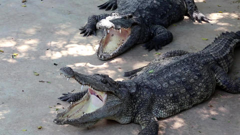 Big crocodiles with open mouths Live Action
