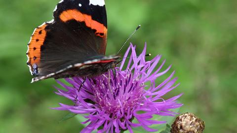 Beautiful butterfly on purple flower Footage