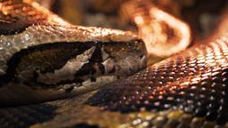 burmese python Footage