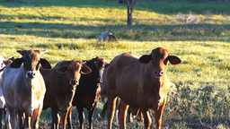 beef cattle Footage