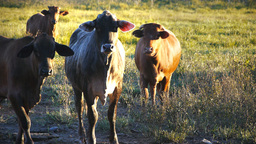beef cattle close up Footage