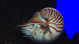 chambered nautilus Footage