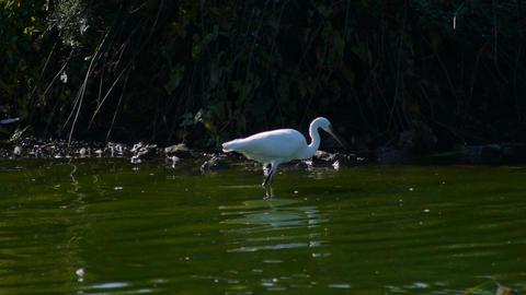 Egret In The Lake stock footage