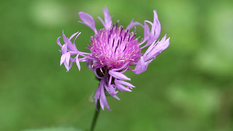 Brown knapweed - purple flower in Carpatian mountains Live Action