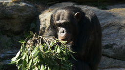 chimpanzee eating leaves Footage