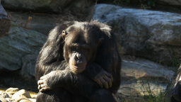 contemplative chimpanzee Footage