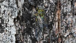 green cicada Footage