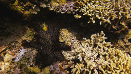 crown of thorns starfish Live Action