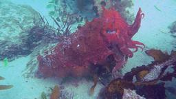 australian cuttlefish Footage