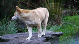 australian dingo Footage