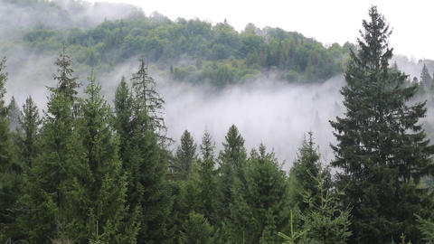 Mist in coniferous forest Footage