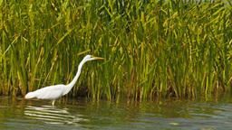 egret feeding at bird billabong Footage