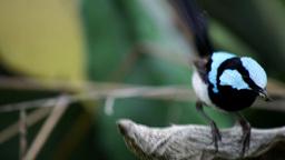 male superb fairy wren Footage