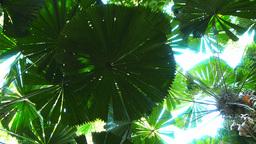 fan palm leaf Footage