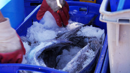 crate of fresh fish Footage