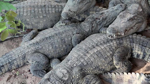 Big crocodiles lying on ground Live Action