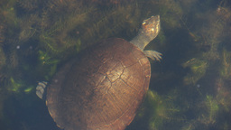 northern yellow-faced turtle Live Action