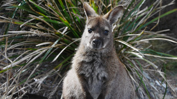 tasmanian wallaby Footage