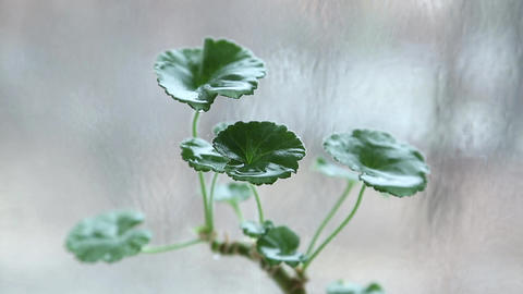Water dripping on green flower with round leaves, drops fall down Footage