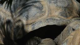 two galapagos tortoises Footage