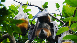 fruit bats Footage