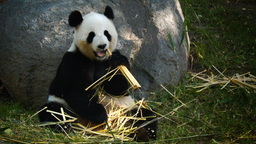 giant panda eating Live Action
