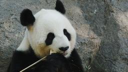 giant panda close up Live Action