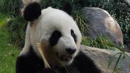 giant panda Live Action