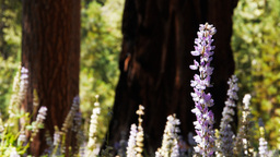 giant sequoia and lupins Live Action