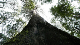 giant eucalyptus tree Footage