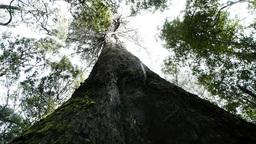 giant eucalyptus tree Footage
