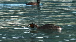 australasian crested grebe Footage