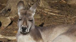 kangaroo poking out its tongue Footage
