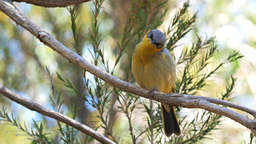 grey headed honeyeater singing Footage